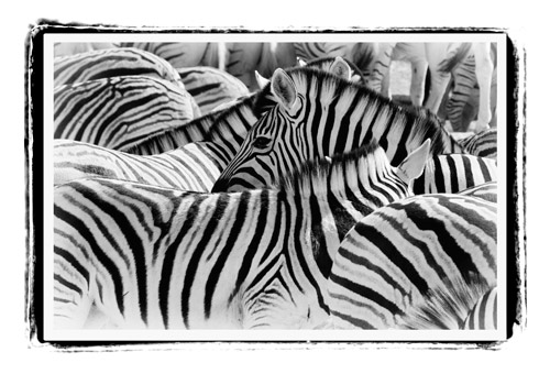 Sue-Shepherd-A-Wrap-Black-&-White-Zebra-canvas-print