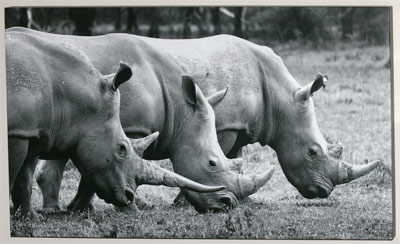 canvas-prints-rhinos